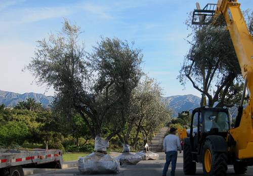 large olive trees for landscaping estates in santa barbara and montecito california