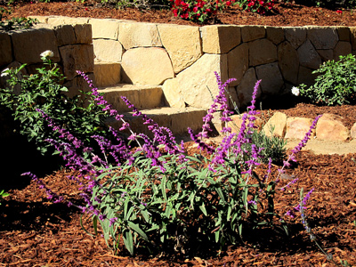 Montecito Landscaping with Sandstone walls and steps, mexican sage and white iceberg roses