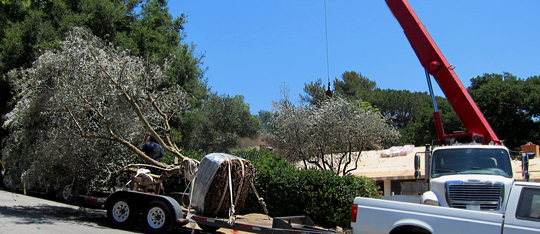 Montecito and Santa Barbara Landscape Design Consulting and Old Olive Tree resources